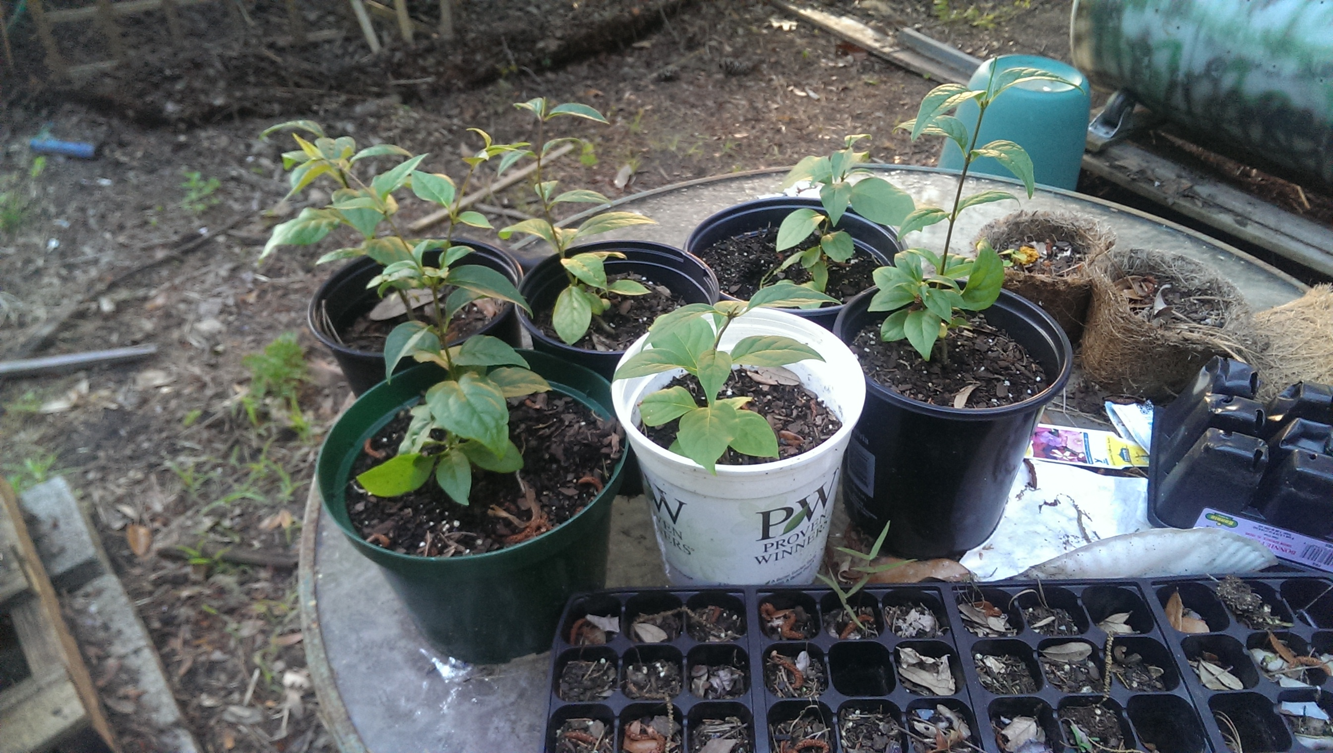 Blue Berry bush from seed