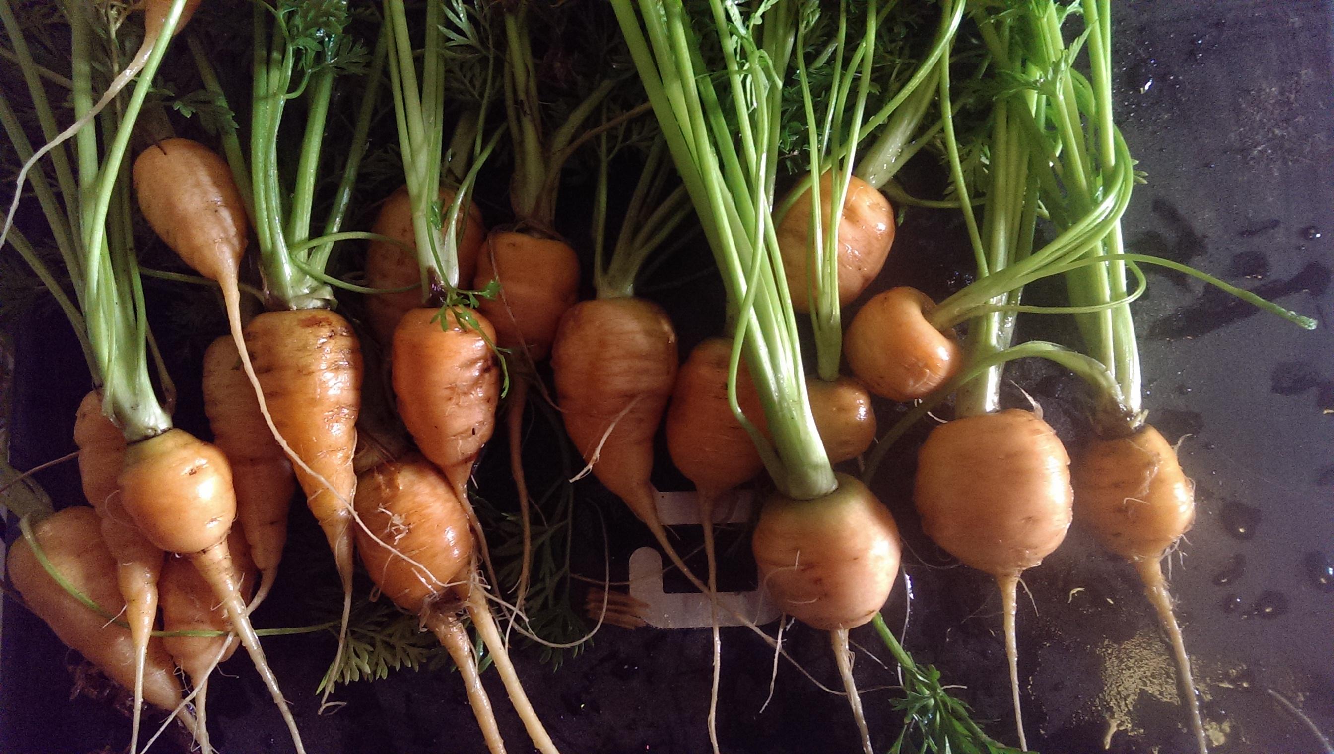 Parsian Carrots